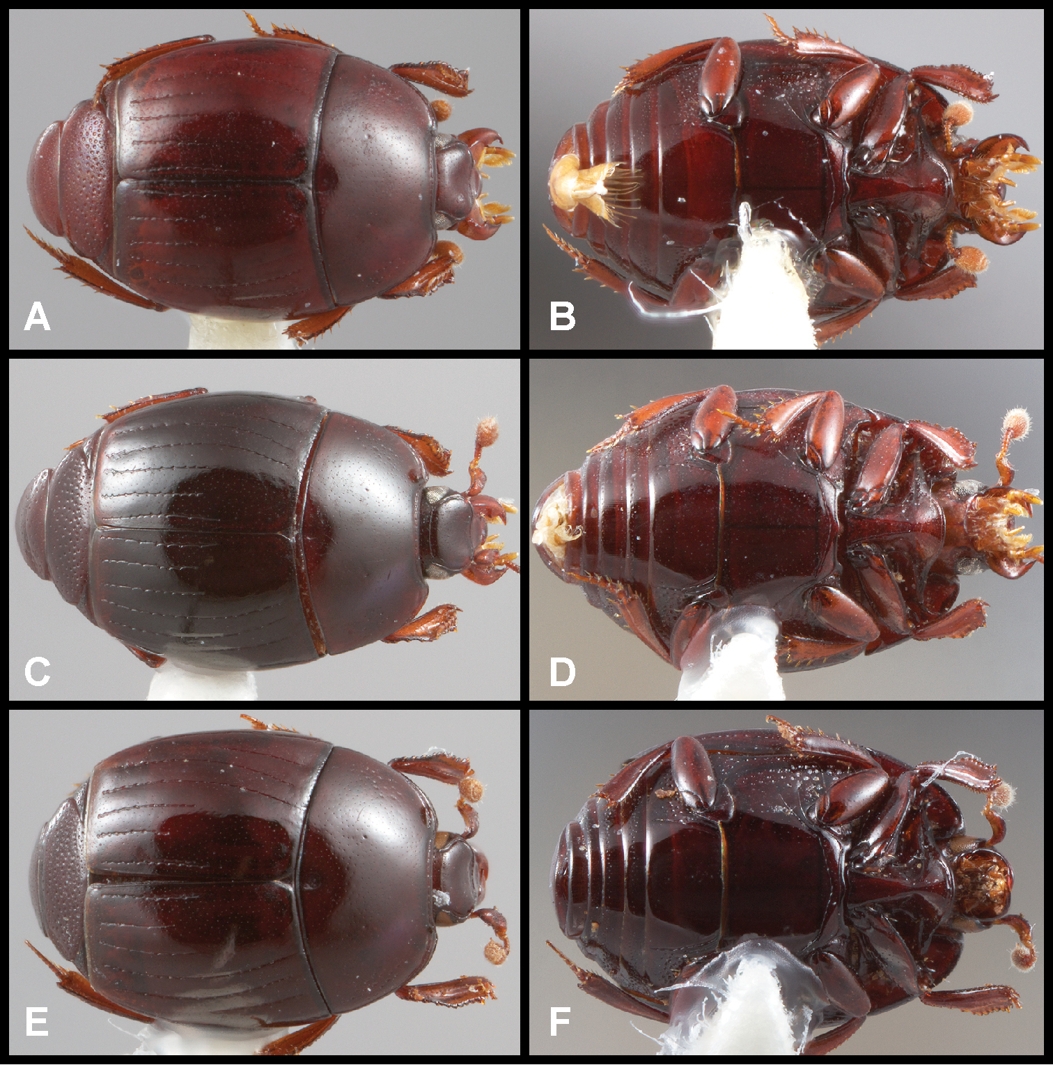 29 Recognition and revision of the Phelister blairi group Histeridae ...